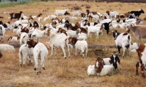 Kozy koszą trawnik przed Google